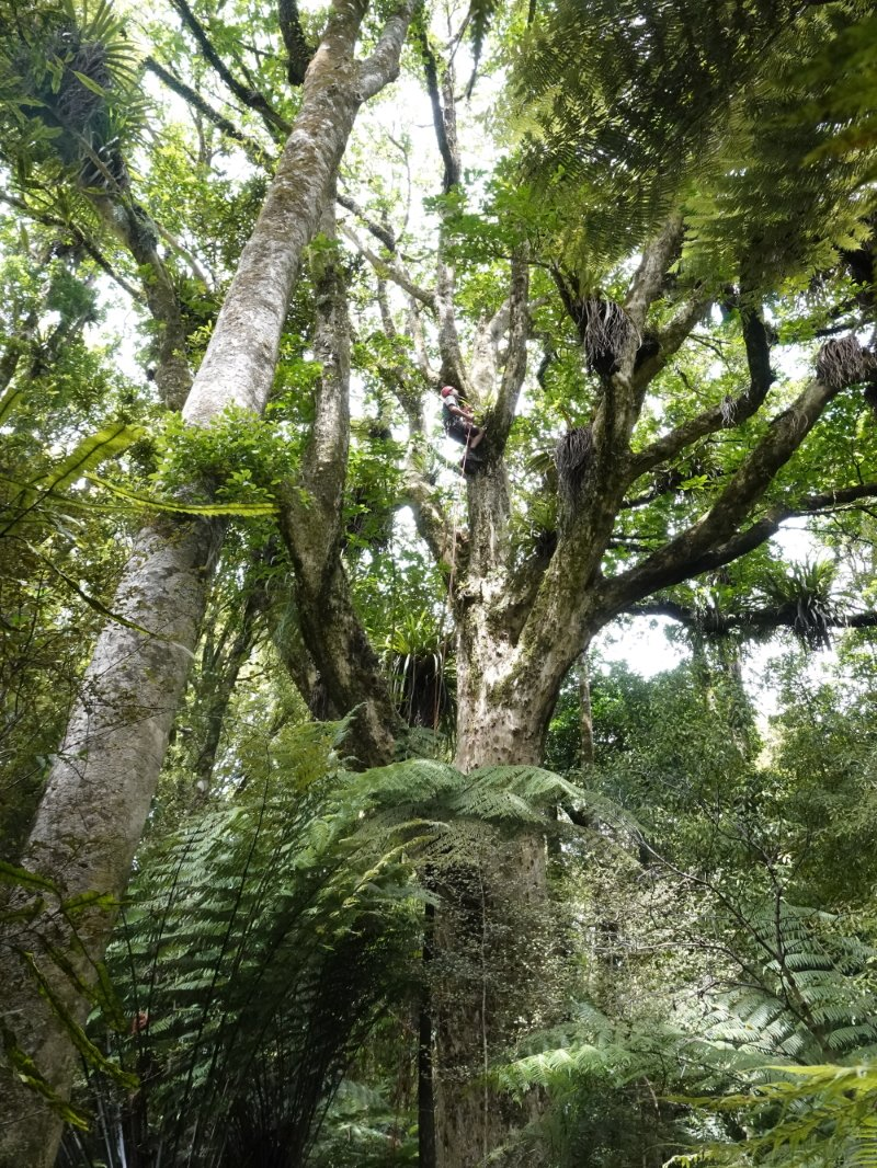 huge puriri tree with climber making his way up the trunk